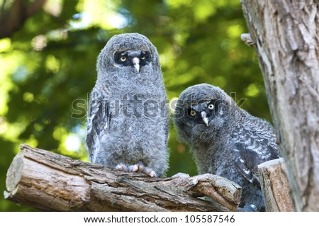 Young great grey owls sitting on a branch - stock photo