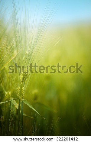 Young green barley crops growing in cultivated field, crop protection concept, selective focus - stock photo