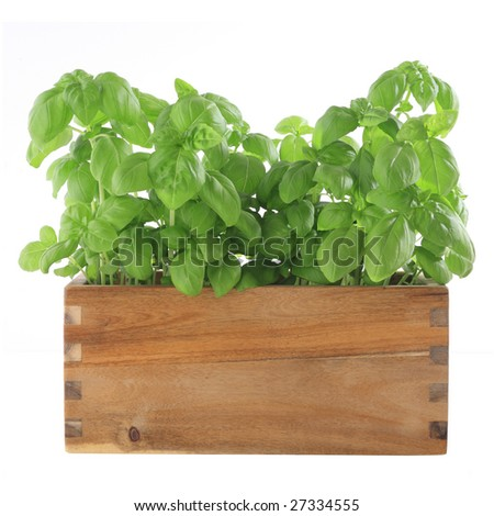 young green basil plants in a wooden pot - stock photo