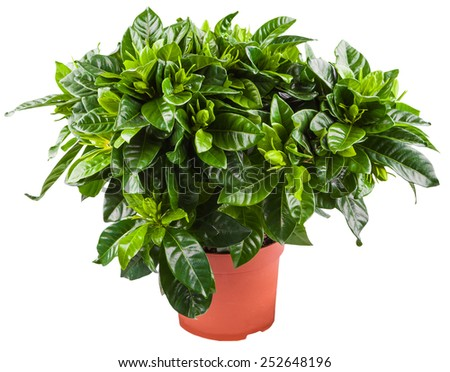 young green bush of gardenia in the terracotta pot isolated on white background - stock photo