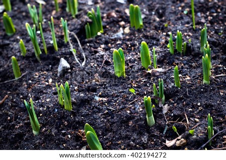 Young green crocus sprouts peaking through the ground in spring