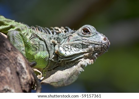 Young green iguana on the tree