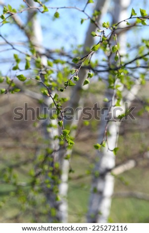 Young green leaves of a birch in the spring afternoon - stock photo