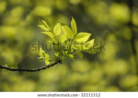 young green leaves of a tree in the sun