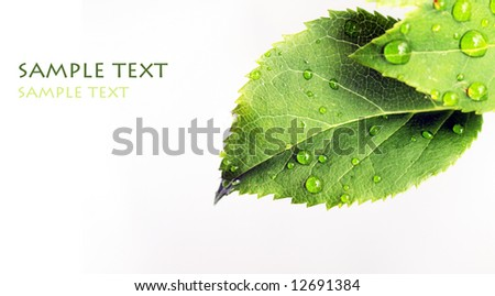 young green leaves with water drops against white background - stock photo