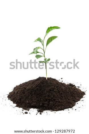 young green lemon growing from soil - stock photo
