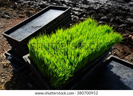 Young green paddy field.