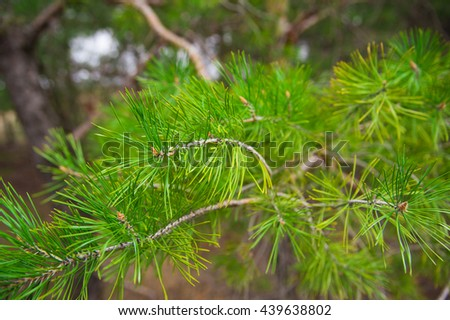 Young green pine branch spring day. Close-up