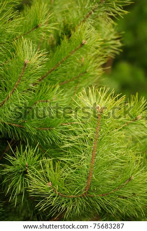 Young Green Pine Branches - stock photo