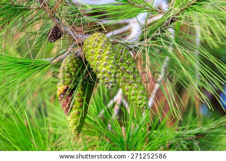 Young green pinecone of mediterranean pine on tree - stock photo