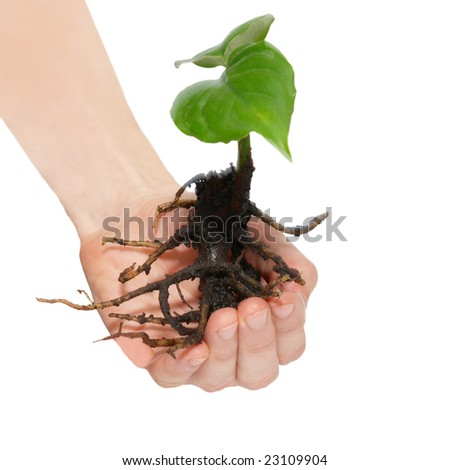 Young green plant in hands isolated on white.