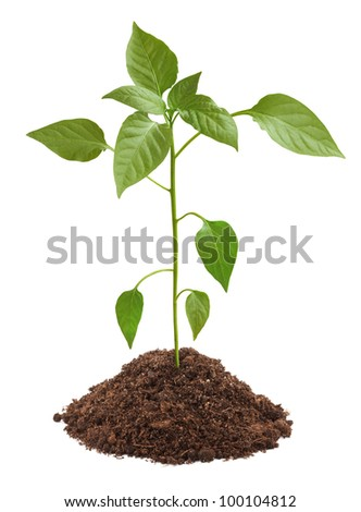 Young green plant in soil isolated on white background - stock photo