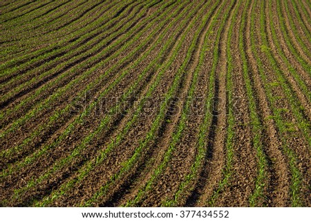 Young green plants growing in field furrows