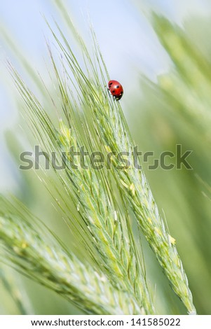 Young green rye ears of a ladybug on one of the ears. - stock photo