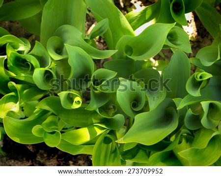 young green shoots of lily of the valley as background - stock photo