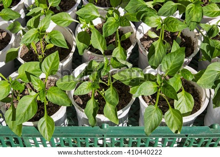 Young green shoots of pepper grown in plastic boxes. - stock photo
