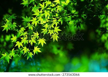 Young green spring leaves background. Illuminated Maple leaves in the woods.  - stock photo