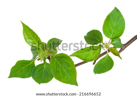Young green sprout of apple-tree with leaf - stock photo