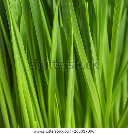 Young green sprouts of oat for healthy lifestyle, fresh green grass, close up - stock photo