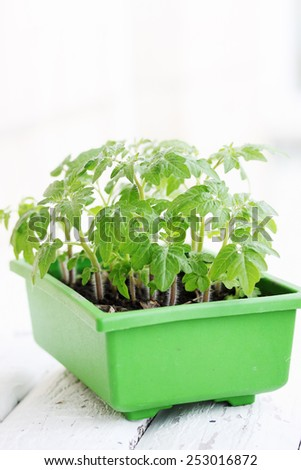 Young green tomato seedlings in the green container - stock photo