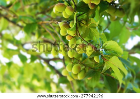 Young green ume plum fruit on a tree.  Shallow depth of field.  - stock photo