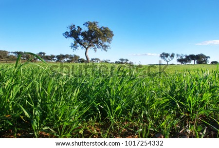 Young green wheat growing in soil, alentejo, Portugal