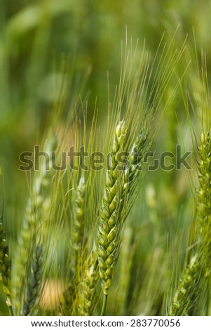 Young green wheat growing on a farmland in the Swartland in the Western Cape of South Africa - stock photo