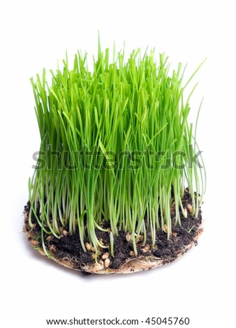 Young green wheat isolated on a white background - stock photo