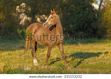 Young grey arabian horse in the meadow - stock photo