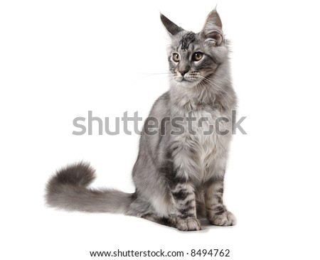 Young grey cat of maine coon breed - stock photo