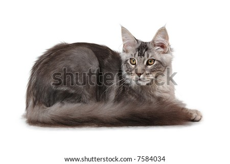 Young grey maine coon cat - stock photo