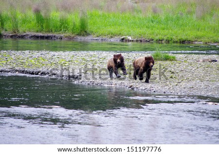 young grizzlies, canada - stock photo