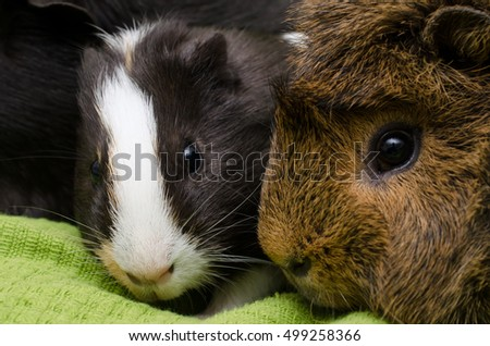 young guinea pig cuddles with adult abyssinian