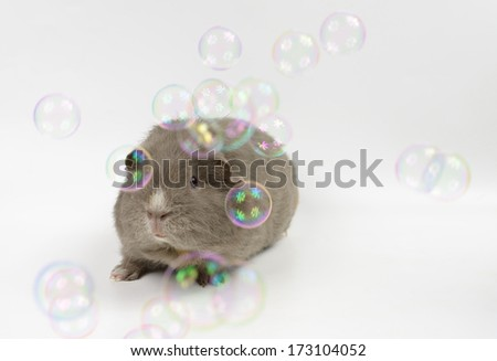 young guinea pig with soap bubbles