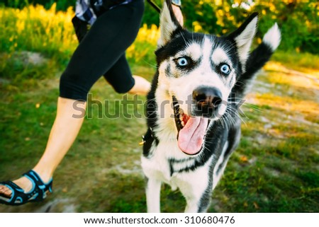 Young Happy Husky Eskimo Dog Runs Next to Mistress On Fresh Green Grass Outdoor. Summer Or Spring Season - stock photo