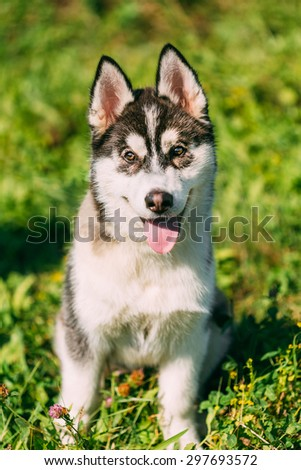 Young Happy Husky Puppy Eskimo Dog Sitting In Grass Outdoor - stock photo