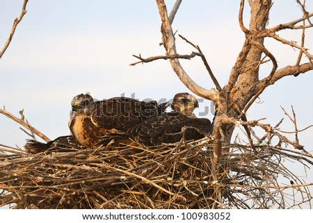 Young hawks in nest - stock photo