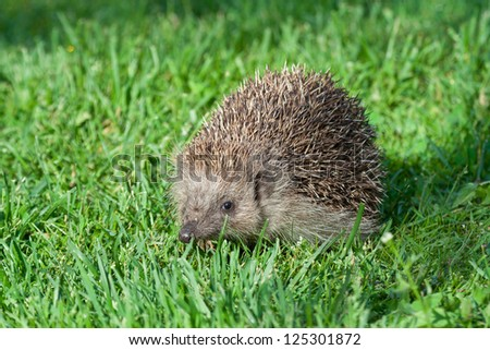 Young hedgehog at fresh grass - stock photo