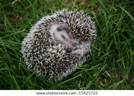 Young hedgehog in defense on green grass - stock photo