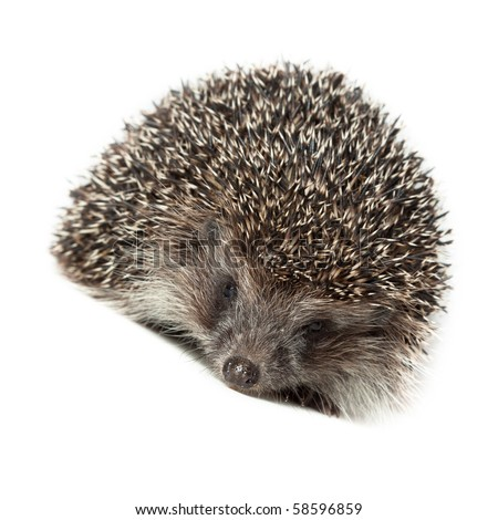 Young hedgehog in studio on the white background, isolated. - stock photo