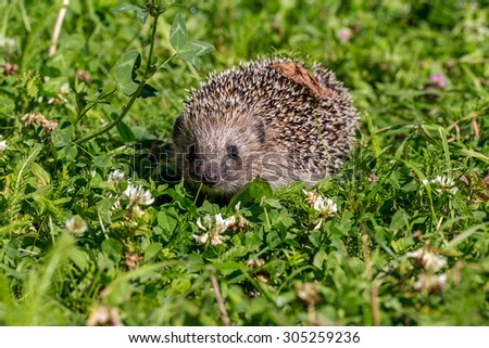 Young hedgehog on green grass in natural habitat