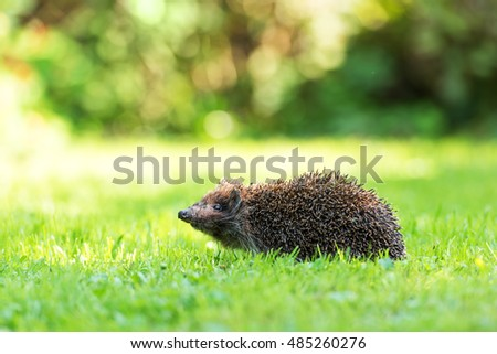 young hedgehog on green lawn