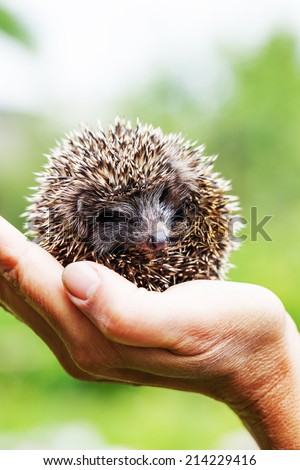 Young hedgehog /selective focus - stock photo