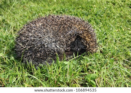 Young hedgehog sleeping in the grass