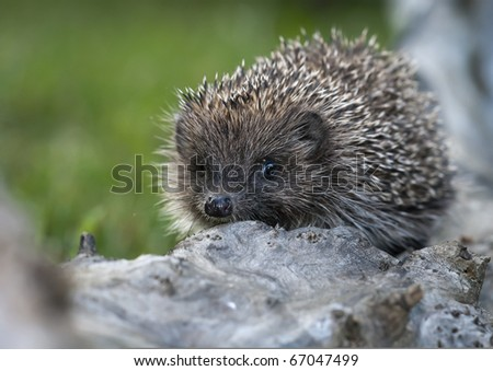 young hedgehogs - stock photo