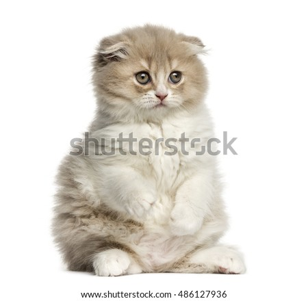 Young Highland Fold kitten sitting on hind legs isolated on White