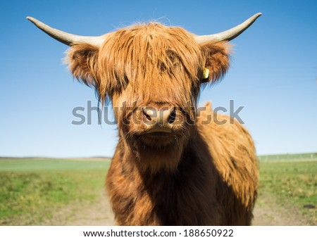 Young highland steer with horns - stock photo