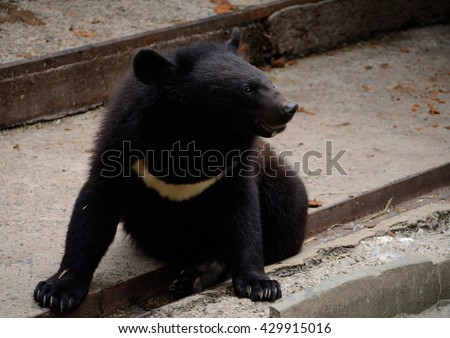 Young Himalayan Bear. The largest Asiatic black bear.  - stock photo