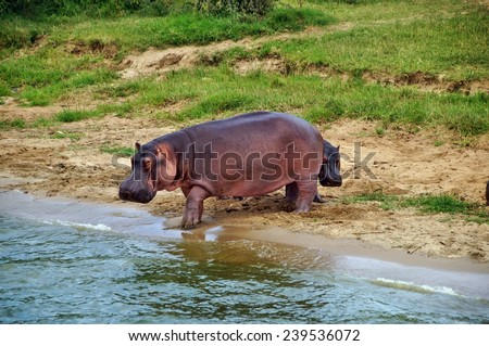 Young hippo hiding behind adult on the shore of Kazinga Channel at Queen Elizabeth National Park, Uganda