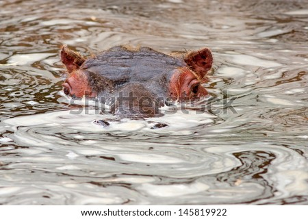 Young hippopotamus (Hippopotamus amphibius) in water - stock photo